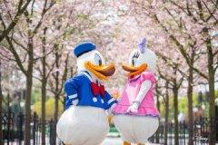 Donald Daisy Shanghai Cherry Blossom